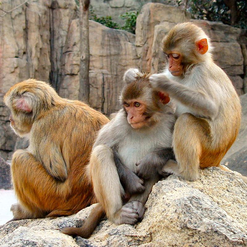 Scimmie che cercano di togliersi i pidocchi l'un l'altra