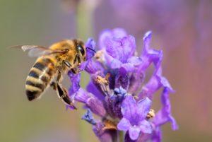 ape poggiata sulla lavanda